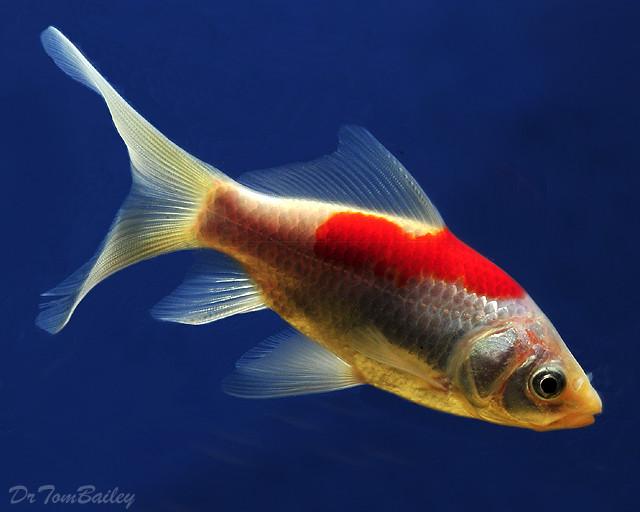 Premium Red & White Pond Comet