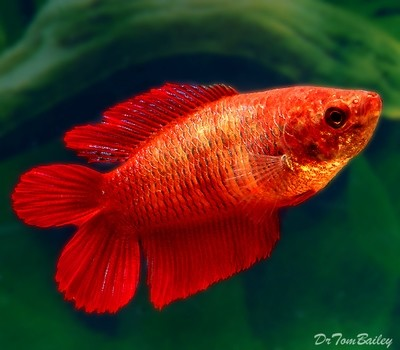 Premium FEMALE Natural Twin Tail Red Betta Fish