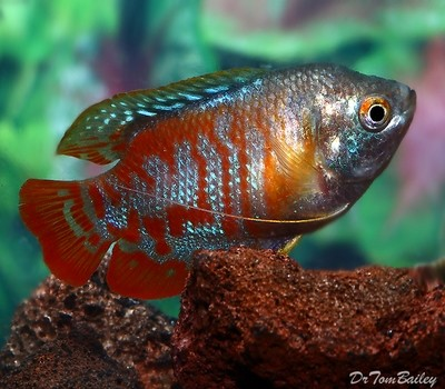 Premium MALE Young Peacock Dwarf Gourami