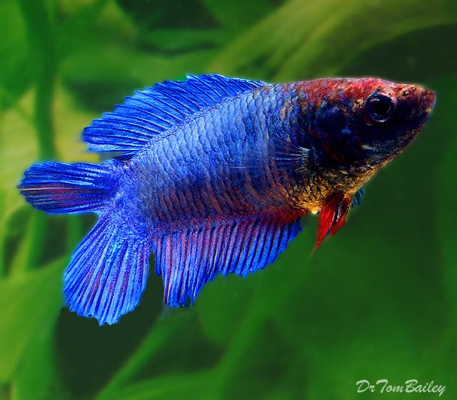 Premium FEMALE Natural Twin-Tail Blue Betta Fish