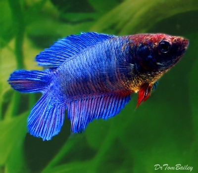Premium FEMALE Natural Twin-Tail Blue Betta Fish