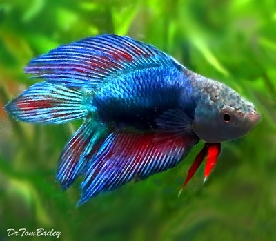 Premium, FEMALE, Natural Twin-Tail, Red and Blue Betta