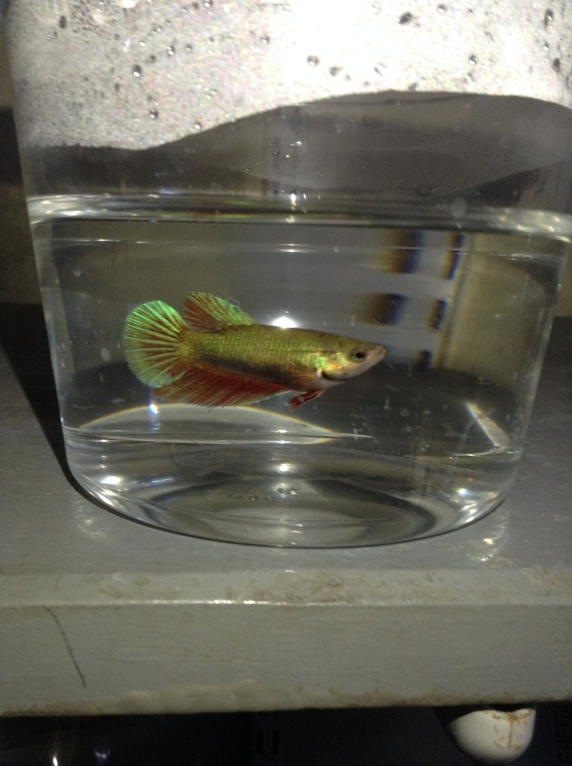 Premium FEMALE Green Halfmoon Betta Fish