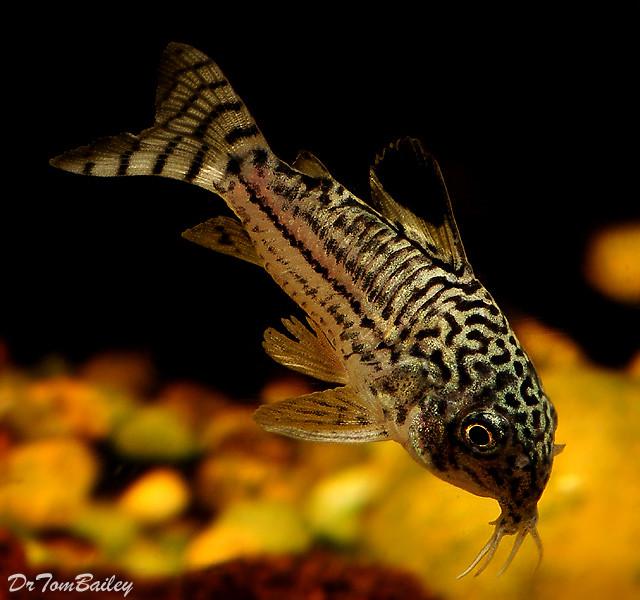Premium Trilineatus Corydoras Catfish