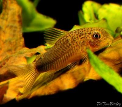 Premium WILD, Similis Corydoras Catfish