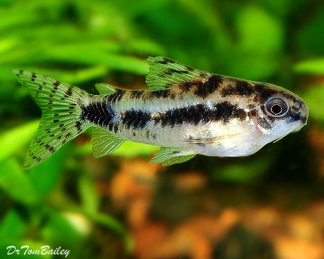Premium WILD, Dwarf Corydoras Habrosus Catfish