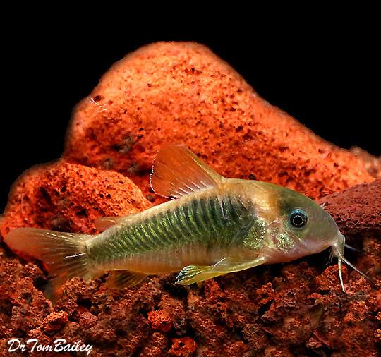 Premium WILD, New Gold and Green Corydoras Catfish