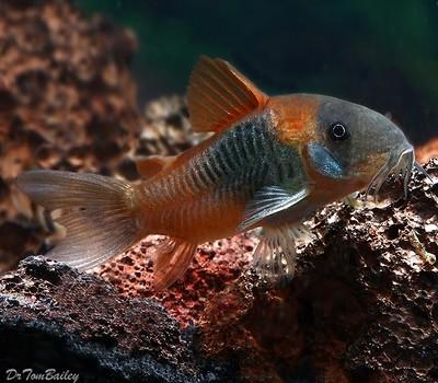Premium WILD, Venezuelan Orange Spot Corydoras Catfish