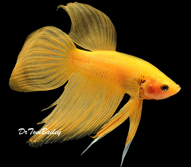 Premium MALE Yellow Betta Fish