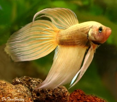 Premium MALE Mustard Betta Fish