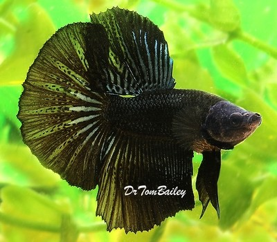 Premium MALE Black Halfmoon Betta Fish