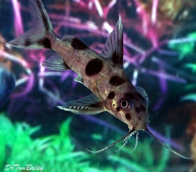 Premium Rare Synodontis Decorus Hybrid Catfish