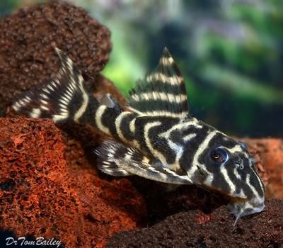 Premium WILD, New, and Rare Orinoco Zebra Pleco, Hypancistrus debilittera, L129