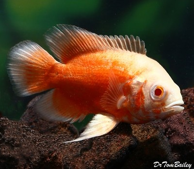 Premium Albino Red Oscar Cichlid