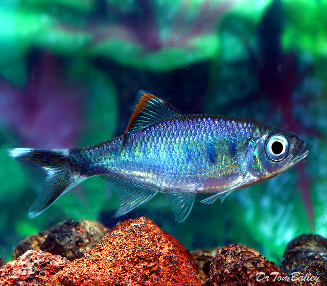 Premium New and Rare, Royal Blue Danio
