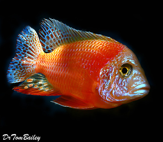 Baby Ruby Red Peacock Cichlid