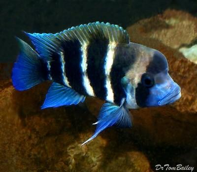 Premium Lake Tanganyika 6-Stripe Frontosa Cichlid