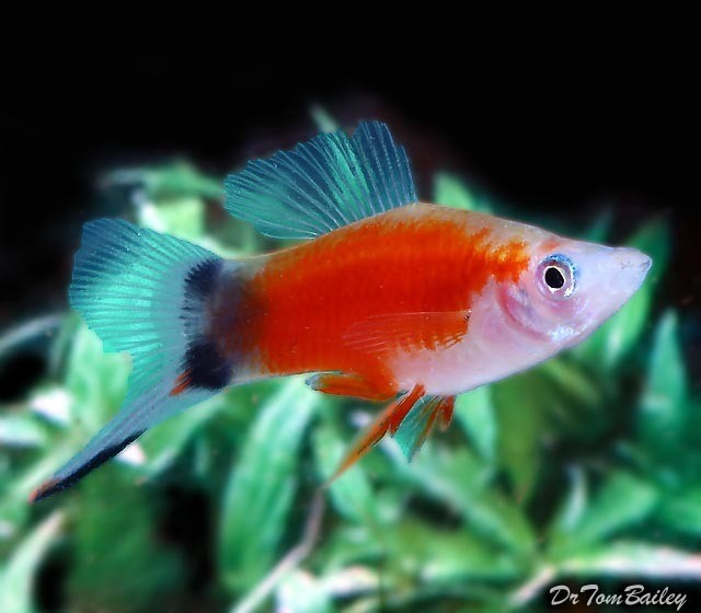 Premium Rare Red & White Mickey Mouse Swordtail