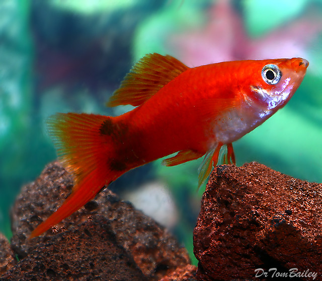 Premium MALE Red Mickey Mouse Swordtail