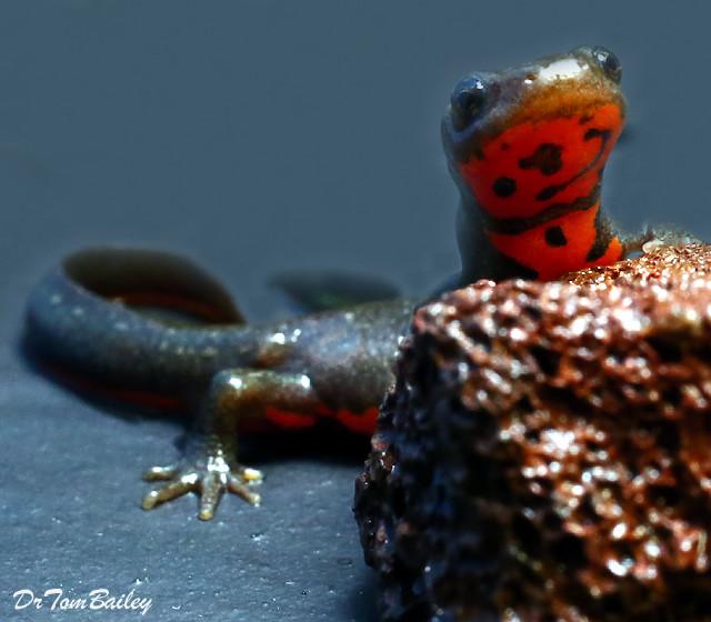 Premium Fire Belly Newt