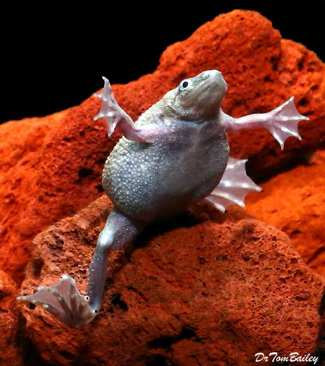 Premium FEMALE Breeder Dwarf Frog
