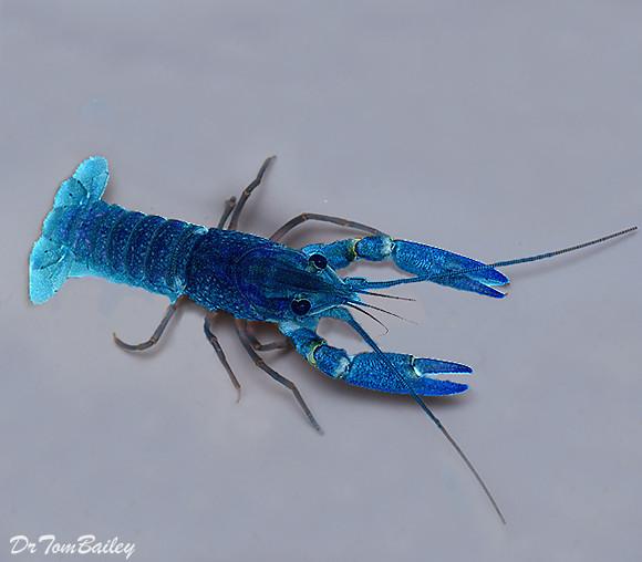 Premium Blue Lobster