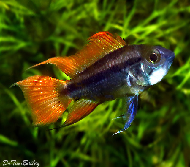 Premium New Apistogramma Cacatuoides Cichlid, Orange Flash