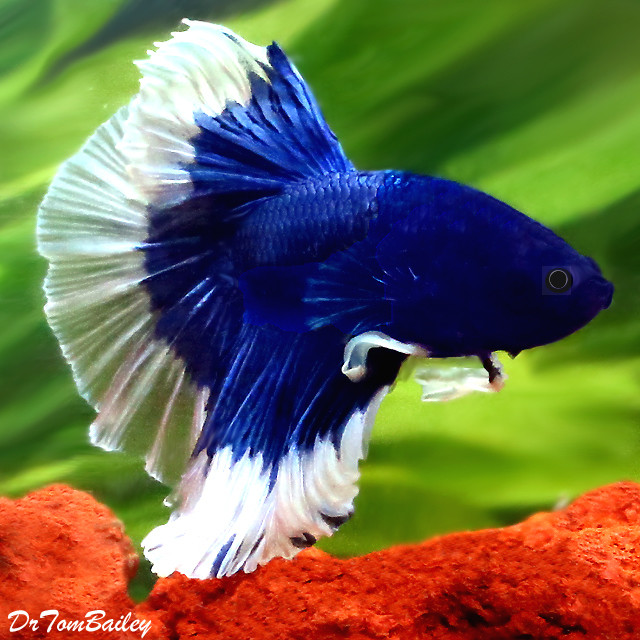 Premium MALE Show Butterfly Halfmoon Betta Fish