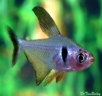 Premium Black Phantom Tetra