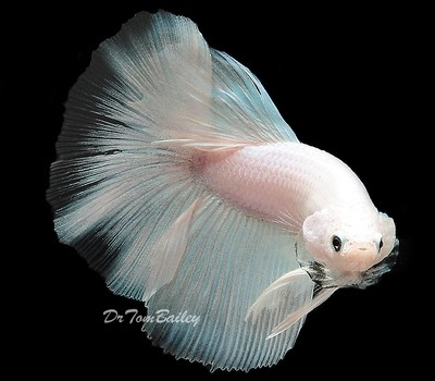 Premium MALE New and Exciting, White Halfmoon Betta Fish