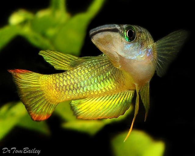 Premium Golden Wonder Killifish