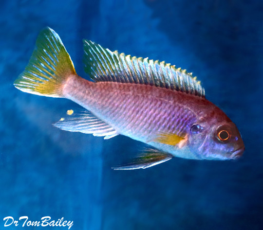 Premium Yellowtail Acei Mbuna Cichlid from Lake Malawi