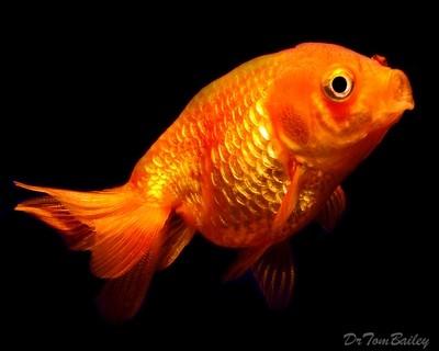 Premium Red Lionhead Goldfish