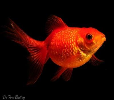 Premium Pearscale Goldfish