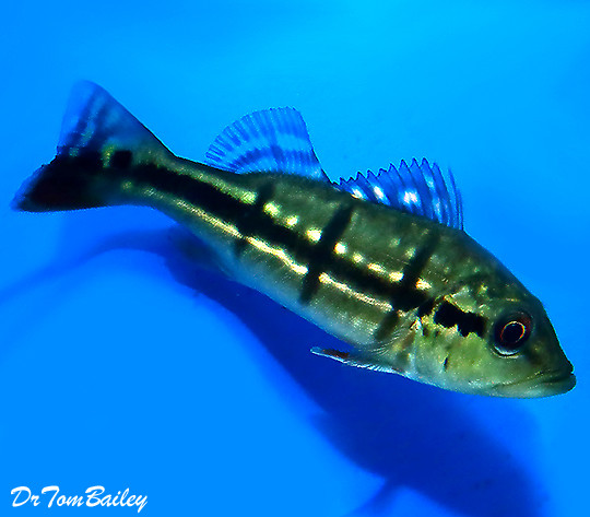 Premium Temensis Peacock Bass Cichlid, Grows to be very Large