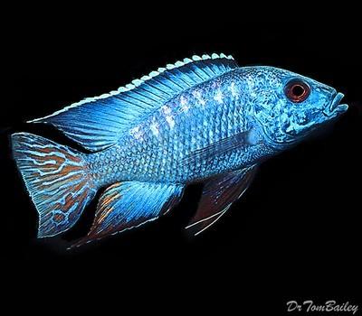 Premium Lake Malawi Flametail Peacock Cichlid