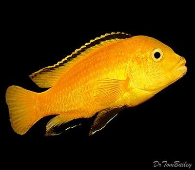 Premium Lake Malawi Electric Yellow, non-Mbuna African Cichlid, Labidochromis caeruleus