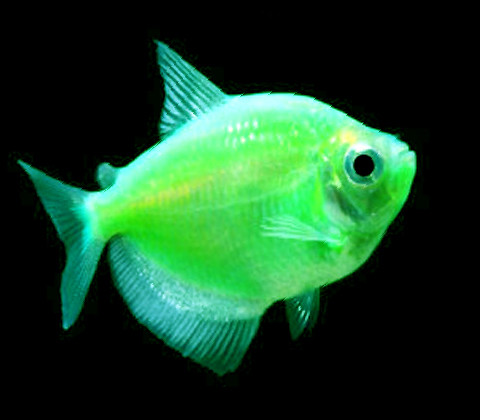 Premium Electric Very-Green GloFish Tetra