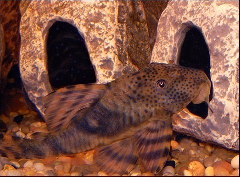 Premium WILD, Rare Peckoltia Plecostomus Catfish, L147