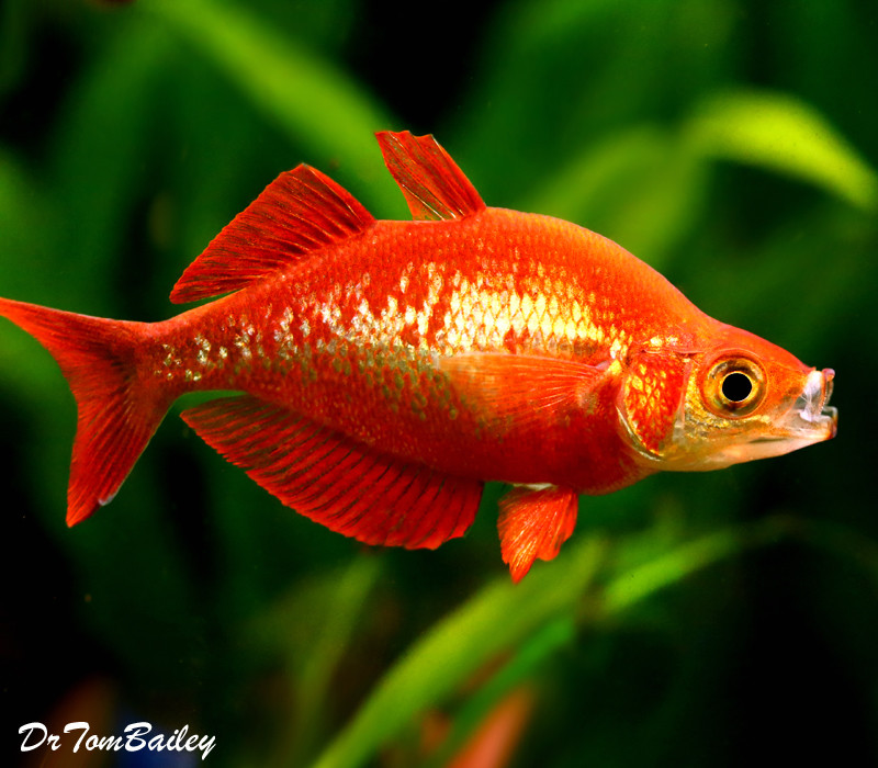 Premium Irian Red Rainbowfish
