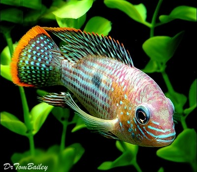 Premium Green Terror Cichlid from Ecuador and Peru in South America