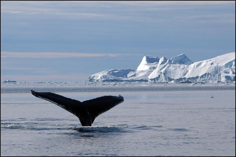 Kopje onder in Groenland