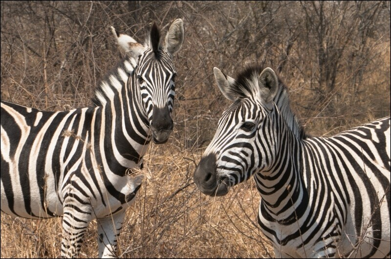 Twin Zebra's