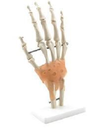 Hand Skelett med ligament