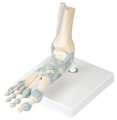 Fotled m Ligament M34