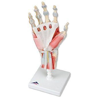 Handskelett modell med ligament och muskler  M33/1