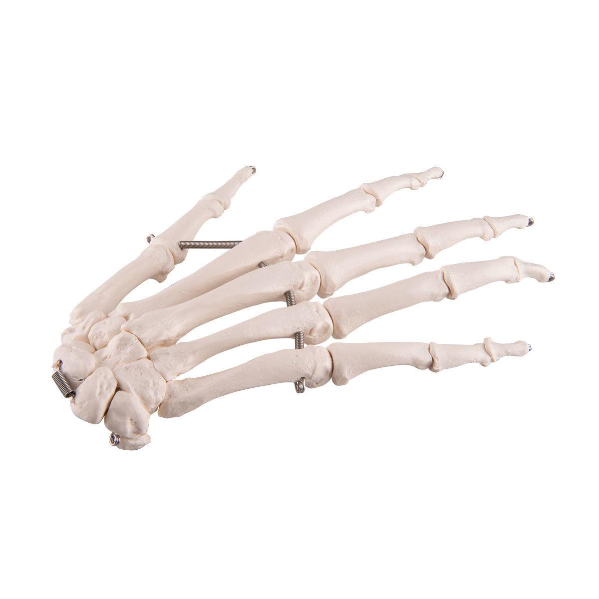 Hand Skelett , A40