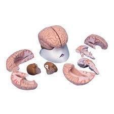 Modell av Hjärnan i 8 eller 9 delar , C17 / C20