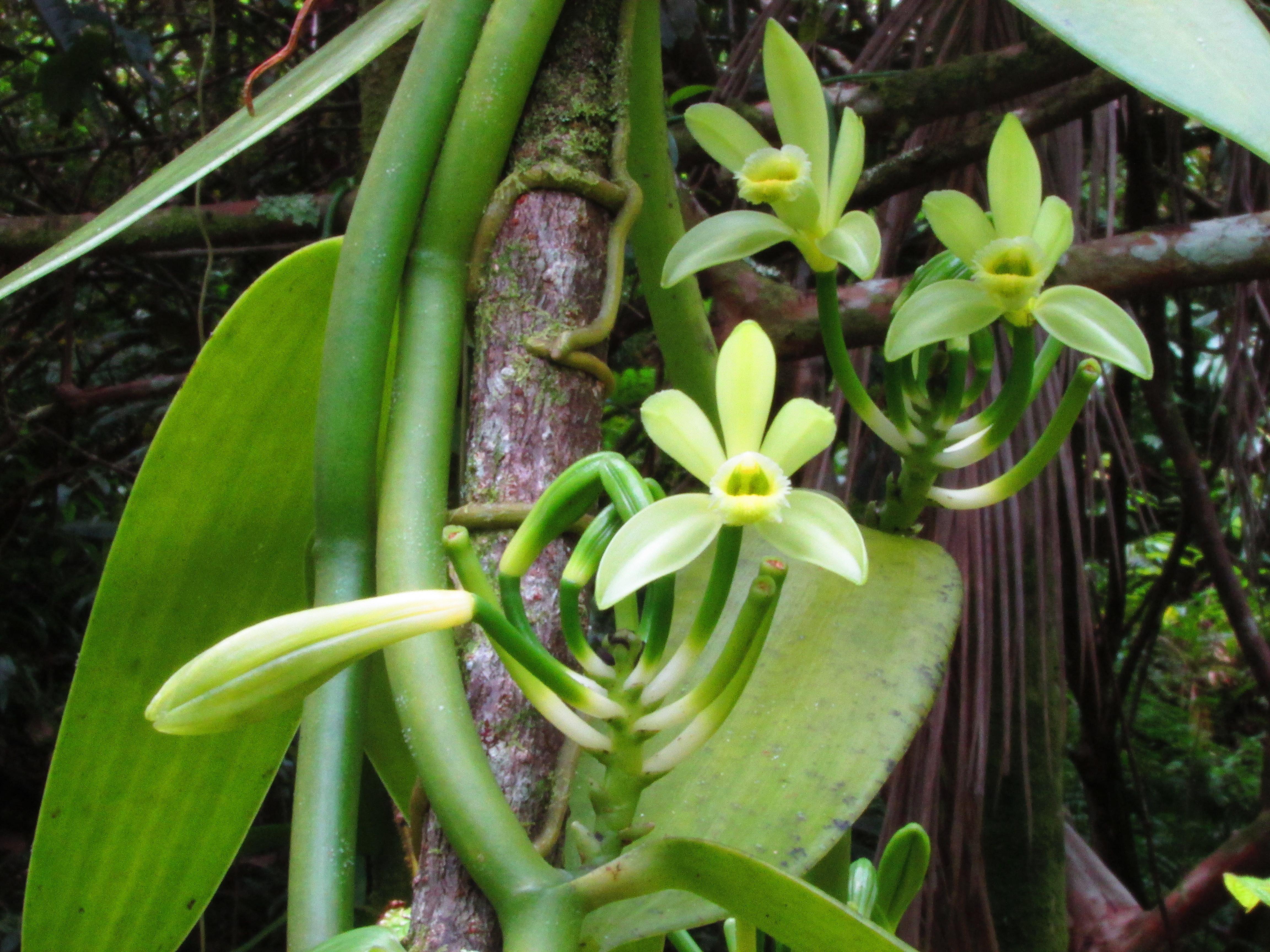 Vanilla Orchid Flowers