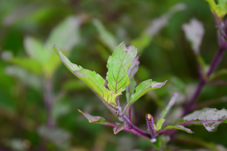 Tulsi Basil growing